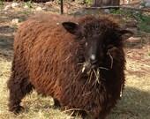ADOPT  our Newest Sheep (TEDDY BEAR) a Lincoln ram lamb -yarn club- for 6 months