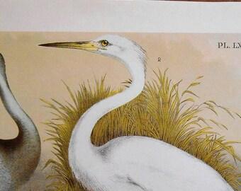 Large Bird Print, Vintage Chromolithograph, Sandhill Crane, Great White Heron