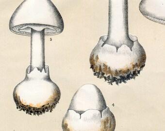 1895 Vintage Botanical Print of Mushrooms. Poisonous Fungi.  Amanita Phalloides and Verna. Plate 41