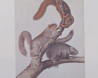 Vintage Audobon Animal Print-2 Sided Book Plate-Mammal-1975 Print-Cat Squirrel/Carolina Grey Squirrel