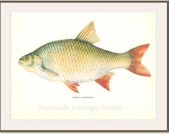 Vintage Fish Print, 1968, Rudd  (69) Fresh and Salt Water Fish, Jiri Maly, Ichthyology,