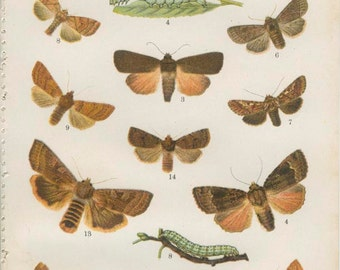Plume Moth, Small Clouded Brindle, Copper Underwing, 1926 Vintage Butterfly Print 17 Kirby, English Country, Cottage Decor