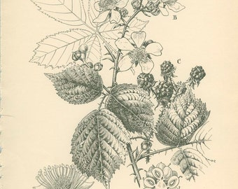 Bramble, Blackberry: Fruit Flowers, Reproduction Vintage Botanical Print 17, 6 x 8, 8 x 10 9 x 12, English Country Cottage Decor, Newall