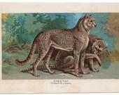 1895 cheetah print original antique african wild cat safari animal print - gueparda jubata