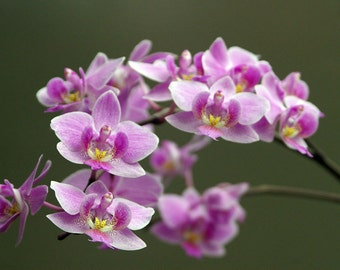 Orchid 8x12 Fine Art Photographic Print Nature