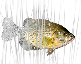 Black Crappie Pan Fish Art on White No.01558 A Fine Art Angling Nature Photographic Image