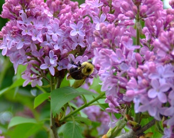 Lilacs and Bee Photo Print 8 x 10