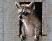 BUY ONE, Get One Free -- Taking a Look Around Coon 8x10 Photograph  raccoon,  wildlife art, nature lover gift-giving idea, cabin decor