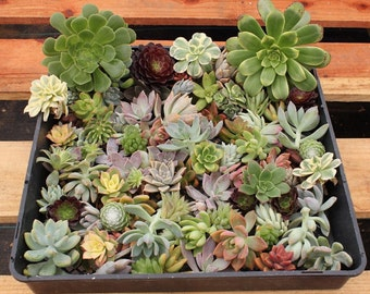 """25 ROSETTE Succulent CUTTINGS (1-3""""inches)  (8) varieties great for wedding and party FAVORS gifts favors Succulents"""