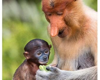 Set of quantity 5: Proboscis Monkey, Mom Feeding Her Baby-2 Photo Card