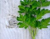 Parsley Flat Leaf Organic Italian Heirloom Seed CLEARANCE SALE