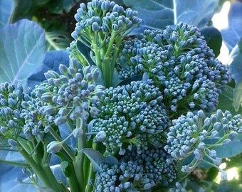 SALE! Broccoli De Ciccio Heirloom Variety Superb Quality Easy to Grow Quick Variety Organically Grown Rare Seeds