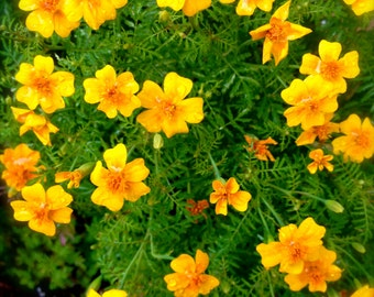 Edible Marigold Organic Heirloom Tangerine Gem Flower Seeds