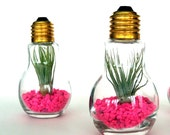 DIY Kit Pair of Light Bulb Terrariums