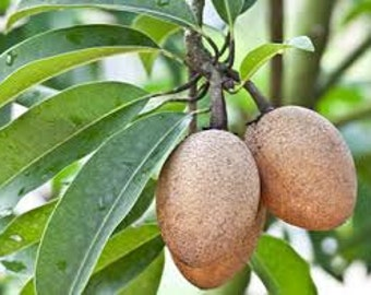Manilkara Zapota Sapodilla Tropical Fruit Tree 1 Gallon