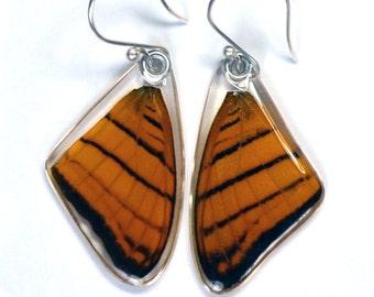Real Orange Daggerwing Butterfly (Marpesia berania) (top/fore wings) earrings