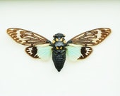 """4.5+"""" Real Cicada butterfly Tosena Splendida spread dried insect and wings bug taxidermy"""
