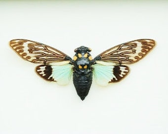 "4.5+"" Real Cicada butterfly Tosena Splendida spread dried insect and wings bug taxidermy"
