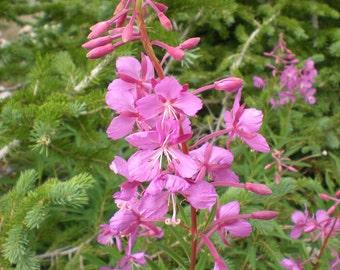 Fireweed Seeds  -  Rosebay Willowherb  -  Epilobium angustifolium -- Medicinal Herb