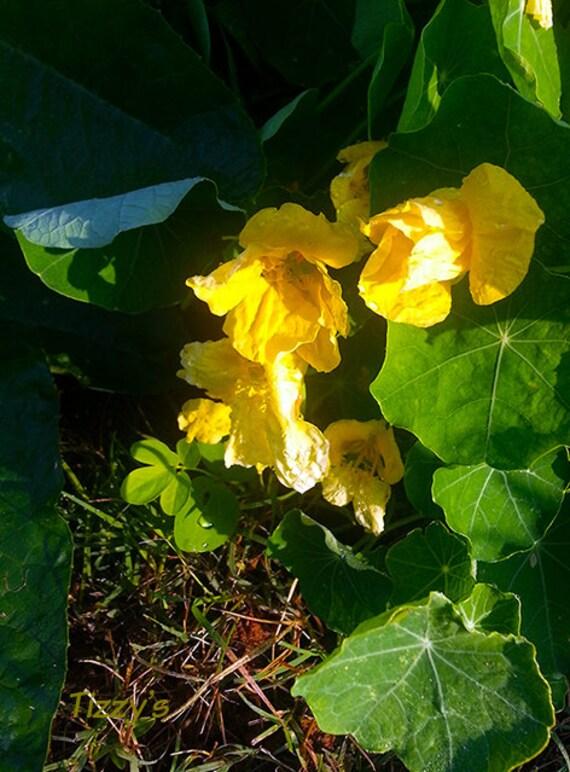 Nasturtium Seeds   -  Moonlight -- Medicinal Herb