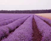 Lavender Photography, Lavender Field Photo and Wheat, Nature Photography, Summer Photography, Purple, Pink
