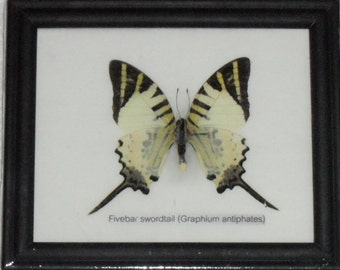 Real BUTTERFLY Collection Taxidermy in Frame / BTF01J2