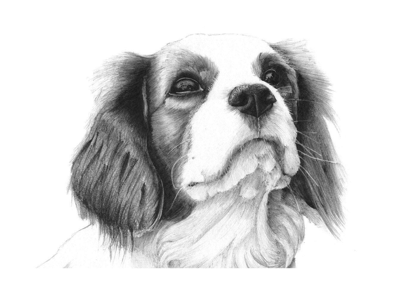 Cavalier King Charles Spaniel Dog Drawing. 12 By NorthHighlandsArt