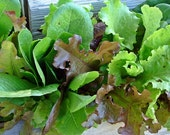Gourmet All Heirloom Lettuce Mix Seeds Non GMO