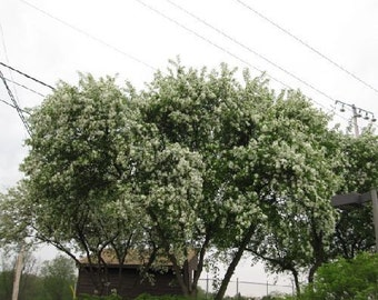 500 Siberian Crabapple Tree Seeds, Malus baccata mandshurica c.s.