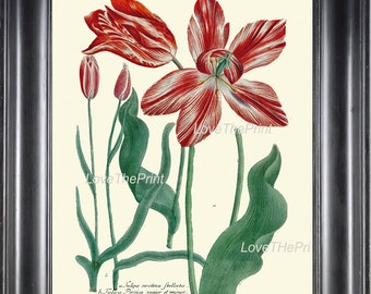 BOTANICAL PRINT Flower  Botanical Art Print W15 Beautiful Red Large Antique Tulip Flowers Garden Nature to Frame Home Room Wall Decor