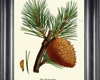 BOTANICAL PRINT Redoute  Art Print 326 Beautiful Large Mountain Pine Pinecone Tree Branch Fall Winter Christmas Nature Decor to Frame