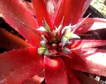 Stunning Red Bromeliad Cluster! Large Gallon Plants!