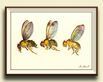 PRINT-Drosophila melanogaster Fly flies art print watercolor - Art Print by Juan Bosco