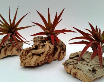 Trio of Real Wood Cork Bark with 3 Large Tillandsia Abdita Air Plants. Guaranteed RED with 30 Day Money Back