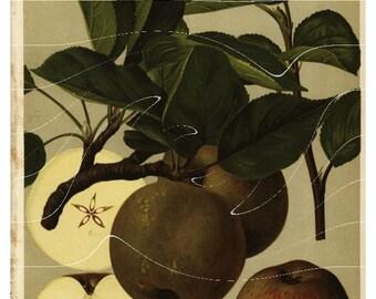 Original Antique Botanical Fruit Print -  Graue Franzosische Renette - Apples Just gorgeous Lithogrpah