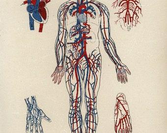 Antique Lithograph Original  dated 1904  Human Skeleton Human  anatomy Human Organ hearts
