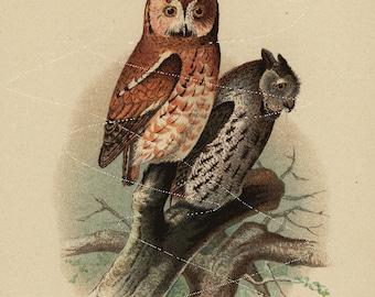 Antique Original  Natural History Colored Bird Print-  Screech Owls  - Owls