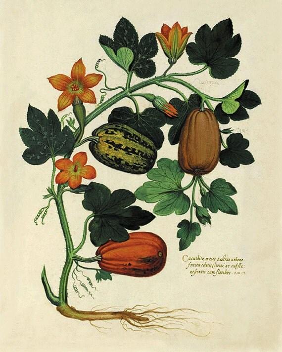 Pumpkin art kitchen art print antique botanical art prints