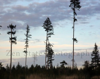Towering Trees Nature Print. Sunset Photography Print. Wall Decor. Landscape Photo Print, Framed Photography, or Canvas Print. Home Decor.