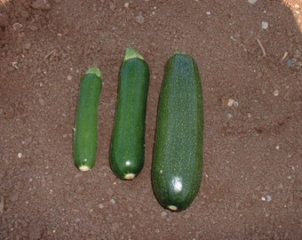 Squash Seeds - 'Dark Green Zucchini' op   30+Seeds