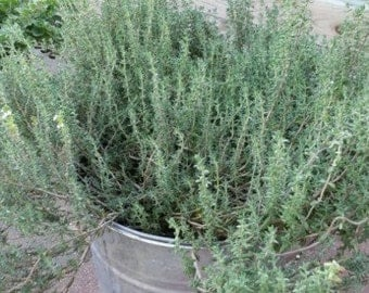 Thyme, common thyme,  thymus vulgaris  OP  - culinary  herb 150+ seeds