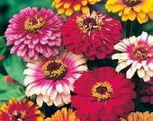 75 - Mixed Zinnia Seeds - Carrousel - Heirloom Zinnia Seeds, Non-gmo Zinnias, Heirloom Flower Seeds, Non-gmo Flower Seed, Annual Flower Seed