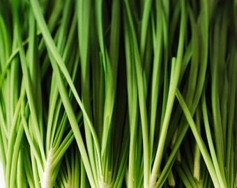 Chinese chives  280 seeds 120 seeds vegetable heirloom