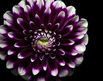 Purple Dahlia – Fine Art photographic print – Floral Photography - Wall Art - FREE SHIPPING