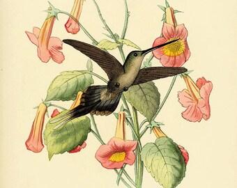 Hummingbirds art Vintage Bird Print Nature art print Vintage prints home decor wall art Natural History Victorian art old prints bird decor