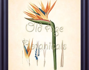REDOUTE Botanical Print 8x10 Art Print Bird of PARADISE Flower Plate 78 Antique Flowers Art Wall Decor Vintage Antique Engraving BF1333