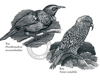 Bird illustration - Kea and Tui - bird art, print of original scratchboard artwork
