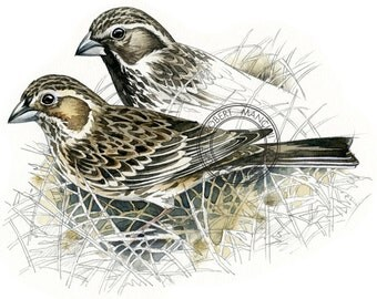 Lark Bunting watercolour - bird wildlife art - nature print of original artwork