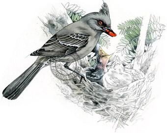 Phainopepla watercolour - bird wildlife art - nature print of original artwork
