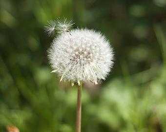Photo of Dandelion Seeds Blowing Away, Flower Photography, Dandelion Photography, Dandelion Decor Nature Photo, Dandelion Wall Art 4x6-20x30